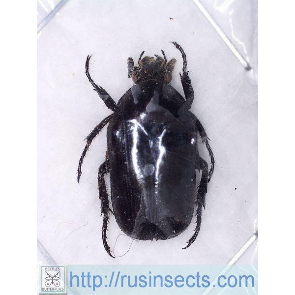 Scarabaeidae, Cetoniinae Thaumastopeus brunneipennis Indonesia (W Timor) 1