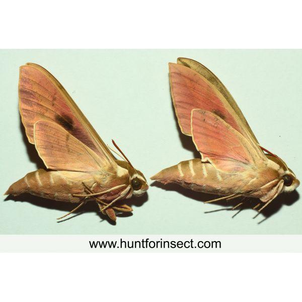 Hyles euphorbiae pair, A+ quality